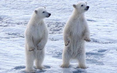 Svalbard: Sailing Farthest North in Search of Polar Bears